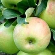 Яблоко Богатырь фото