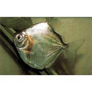 Рыба аквариумная тропическая (Metynnis mola juvenile) фото