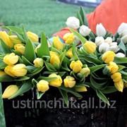 Тюльпаны (срезка) к 8 марта 2016 фото