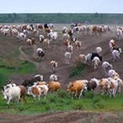 Крупный рогатый скот (КРС) фото