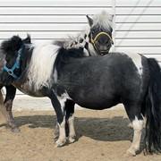 Лошади американской миниатюрной породы фото