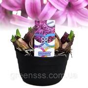 Гиацинт восточный многоцветковый (мультифлора) -- Hyacinthus orientalis Multiflora фото