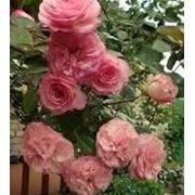 Роза плетистая Мини Эдем. фото