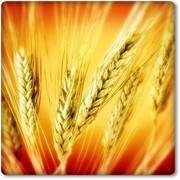 Пшеница озимая Зустрич фото