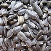 Реализация семян подсолнечника сорта Чумак фото