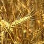 Мука пшеничная ООО Энлиль Золотое зернышко фото