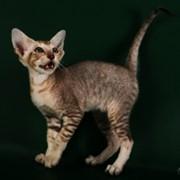 Кошки экзотические, питомник кошек фото