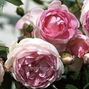 Роза плетистая Жасмин (саженец с ЗКС) фото