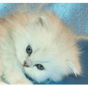 Котёнок Хайленд страйт фото