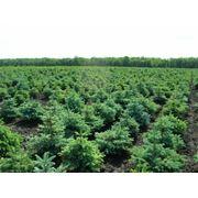 Саженцы лиственных деревьев фото