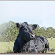 Племенные быки породы Абердин-Ангус фото