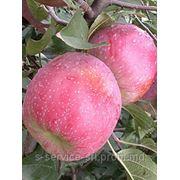Яблоки для пром.переработки - Молдова фото