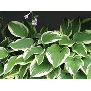 Хоста гибридная Даймонд — Hosta hybrida 'Hosta 'Diamond' фото