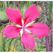 Гибискус американский — Hibiscus coccineus фото