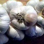 Семена чеснока украинской селекции. фото