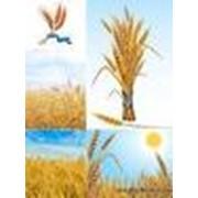 Мука пшеничная высший сорт производства ПАО Васильковхлебопродукт фото