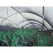 Black Greenhause 45% фото