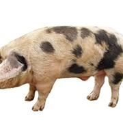 Свиноматки фото