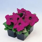 Петуния кустовая Парпл (Purple) фото