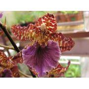 Орхидеи комнатные фото