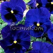 Виола Dynamite Blue Blotch фото