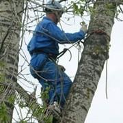 Спил, кронирование дерева фото