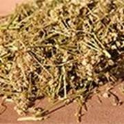Болиголов пятнистый, трава Алтай, 40 г фото