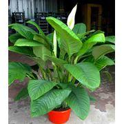 Растения горшечные комнатные фото