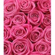 Корни роз фото