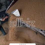 Зерно, зерновые культуры фото