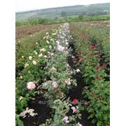 Саженцы роз из питомника фото