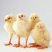 Цыплята Редбро фото