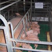 Молодняк свиней в Молдове, продажа фото