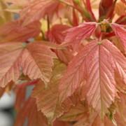 Клены Acer pseudoplatanus Brilliantissimum фото