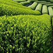 Зелёный чай, отдушка косметическая фото