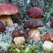 Выращивание грибов шампиньон, вешенка. фото