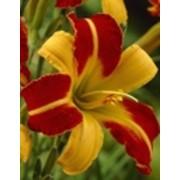 Лилии, Лилейник Frans Hals, Лилии садовые фото