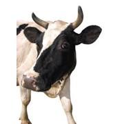Разработка решений по повышению эффективности в животноводстве и их внедрение фото
