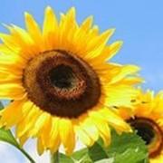 """Насіння соняшника """"АУРІС"""" фото"""