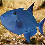 Рыба Спинорог синий фото