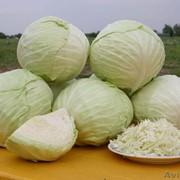 """Капуста сорт """"Голландская"""",купить капусту в Астане,купить капусту в Казахстане фото"""