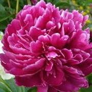 "Пион молочноцветковый ""Феликс Супреме"" Paeonia mlokosewitschii ""Felix Supreme"" фото"
