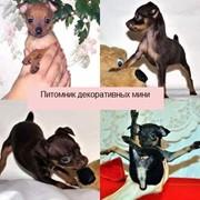 Русский Той-терьер щенки от призеров и победителей выставок фото