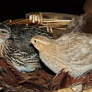 Комбикорм для сельскохозяйственных птиц ДК-51 фото
