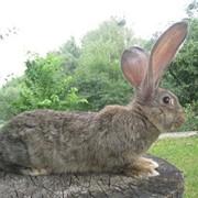 Кролики великаны гиганты фото