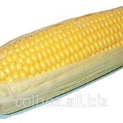 Кукуруза в Молдове фото