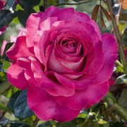 Розы кустарниковые, Роза Баронесса де Ротшильд фото