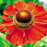 """Гелениум гибридный (Helenium hibridum)""""Moerheim Beauty"""" фото"""