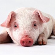 Мясо свинина в живом весе фото
