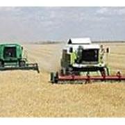 Культуры технические зерновые фото